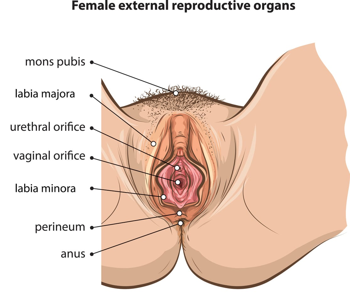 Drawings of female sexual reproductive organs